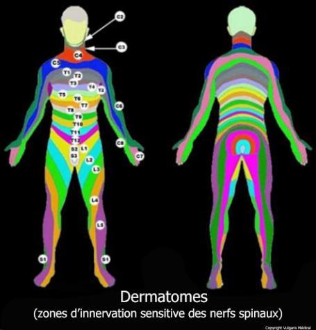 Dermatomes (territoires nerveux)