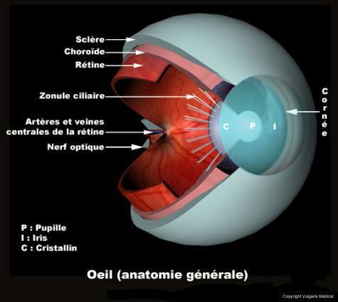 Oeil : anatomie interne (coupe sagittale)