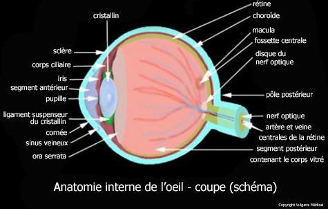 Anatomie interne de l'oeil - coupe (schéma)