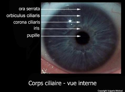 Corps ciliaire - vue interne (photo)