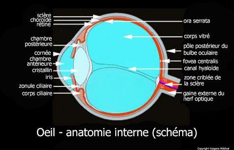 Œil - anatomie interne (coupe schématique)