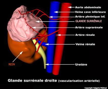 Rein et glande surrénale (schéma)