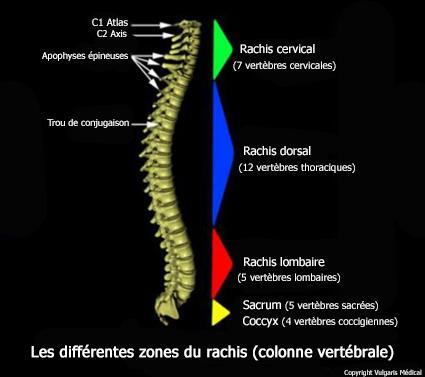 Rachis  - différentes zones anatomiques (schéma)