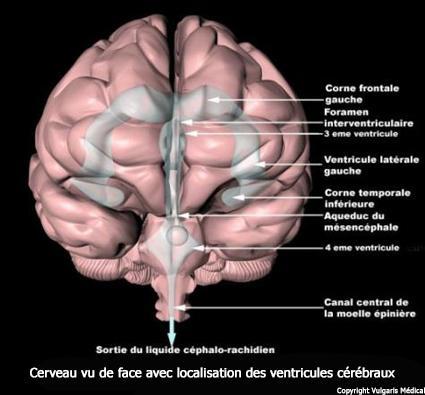 Ventricules cérébraux - localisation dans le cerveau vu de face (schéma)