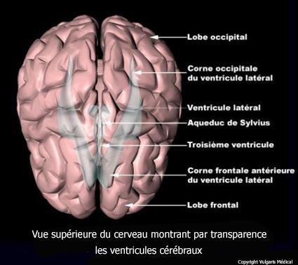 Localisation des ventricules cérébraux vus de dessus (schéma)