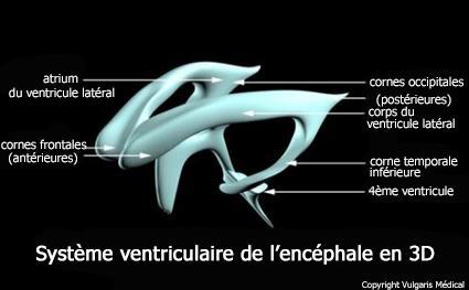 Ventricules cérébraux (schéma en 3D)