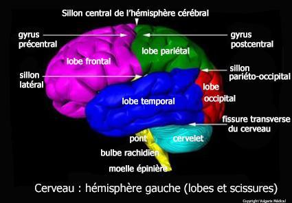 Cerveau : hémisphère gauche - lobes et scissures (schéma)