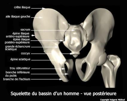 Bassin masculin - squelette en vue postérieure (schéma)