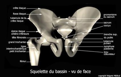 Bassin - squelette de face (schéma)
