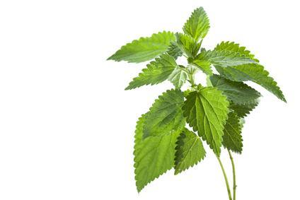 Ortie vulgaris m dical for Plante ortie