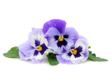 Langage des fleurs Pensee_sauvage_1