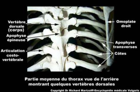 Image, Photo Vertèbres dorsales (aspect réel), Anatomie générale ...