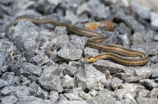 Urgence - Morsure de serpent