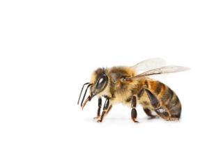 Abeilles : 5 produits naturels pour les éloigner