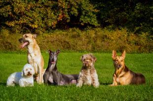Les chiens peuvent détecter les cancers